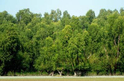 monpura-forest ম্যানগ্রোভ বন মনপুরা দ্বীপ ভোলা
