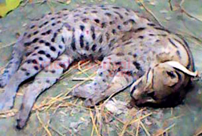 Fish-cat beaten to death in Bhola