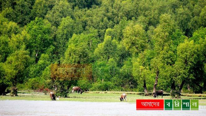 char-kukri-mukri-mohish-cow চর কুকরী মুকরী ভোলা পর্যটন বরিশাল কুকরি মুকরি
