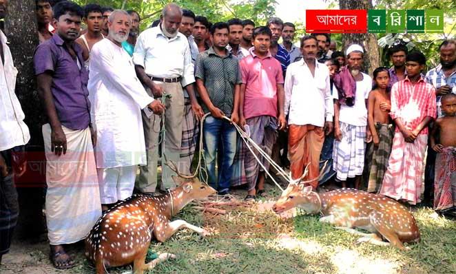 bhola-deer-horin-lalmohon ভোলায় দুইটি মায়া হরিণ উদ্ধার, পরে অবমুক্ত