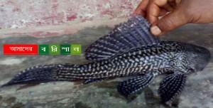 কাউখালীতে জেলের জালে বিড়ল প্রজাতীর মাছ