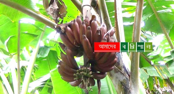 কাউখালীর অর্থকরী ফসল 'অগ্নিসাগর'
