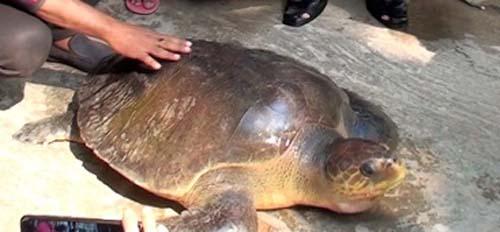 ভোলায় ৪৭ কেজি ওজনের কচ্ছপ