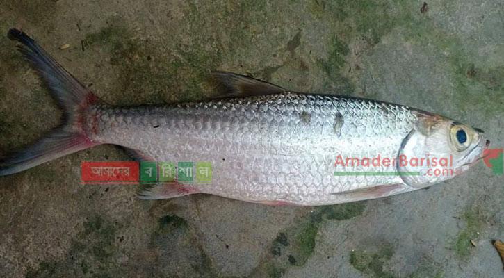 পিরোজপুরে পুকুরে পাওয়া 'টারপোন' মাছটি বঙ্গোপসাগরের